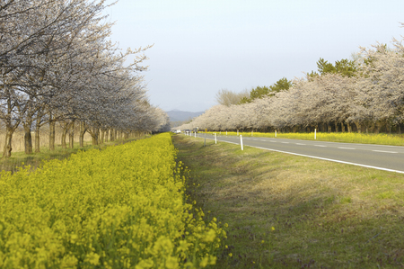 northeast: Cherry tree roadside trees Stock Photo