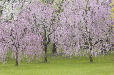 northeast: Red weeping cherry tree Stock Photo