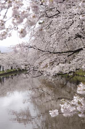 northeast: Sakura of outer moat