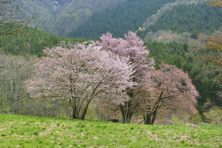 plateau of flowers: Large wild cherry