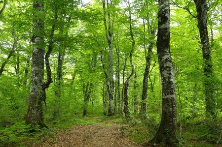 ブナの森 写真素材 - 40361197
