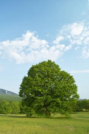시나 나무
