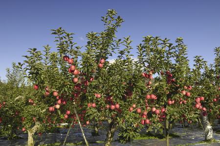 リンゴの果樹園