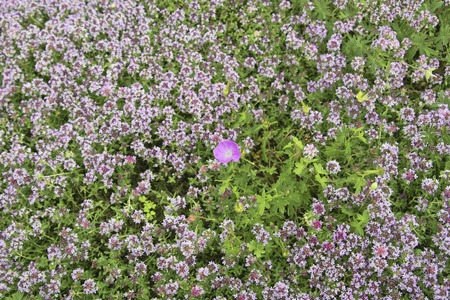point and shoot: Wild thyme
