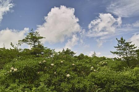 hakusan: Hakusan rhododendron