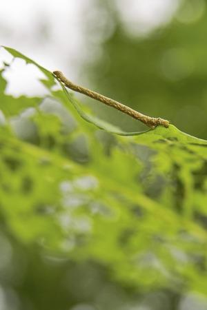 inchworm: Shakutori insects