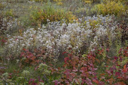 pearly: Pearly everlasting grass