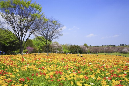 oriental poppy: Poppy flower