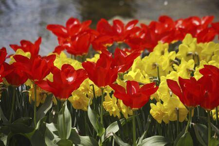 waterside: Waterside Tulip Stock Photo