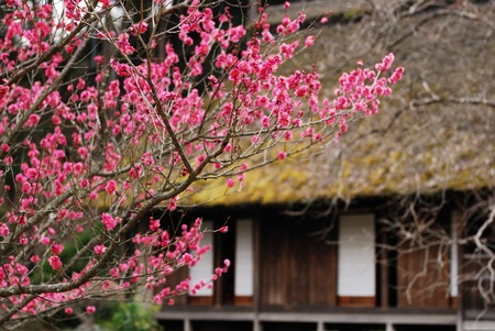 old houses: Old houses and plum blossoms Stock Photo
