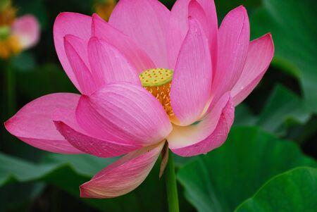 aquatic life: Lotus