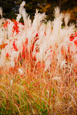 toge: Japanese pampas grass