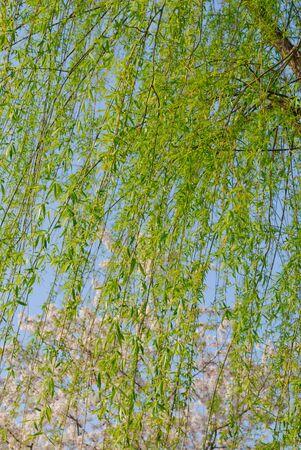 osier: Willow