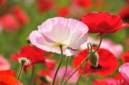 oriental poppy: Poppy