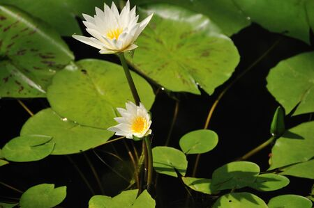 waterweed: Water lily Stock Photo