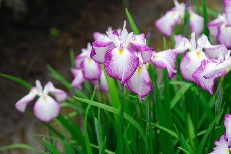 iris blossom: IRIS