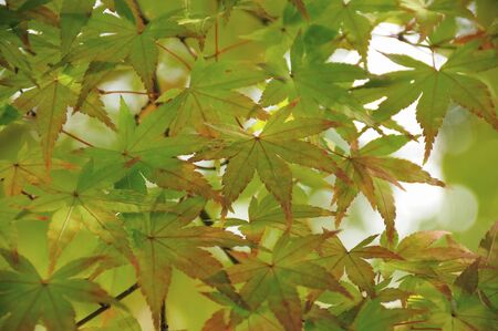 japanese maples: Maples