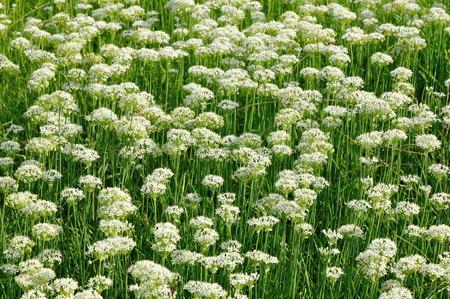 leek: Leek flowers