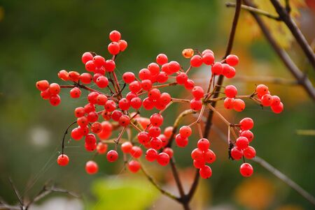 shrubs: Shrubs fruit