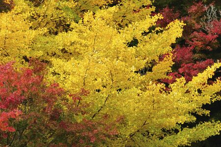 gingko: Gingko tree Stock Photo
