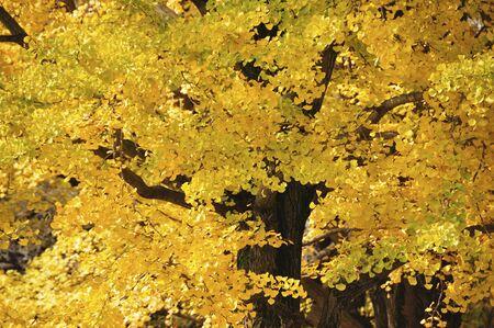gingko: Gingko tree Stock Photo