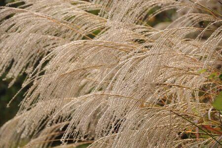 silver maple: Japanese pampas grass