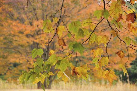 sycamore leaf: Tree of Suzukake