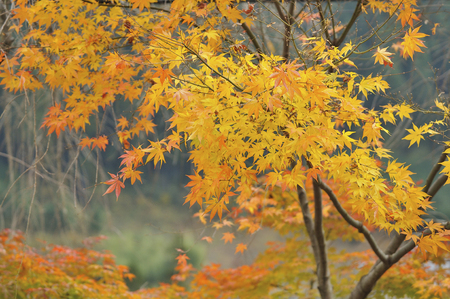 japanese maples: Yellow leaves of maple
