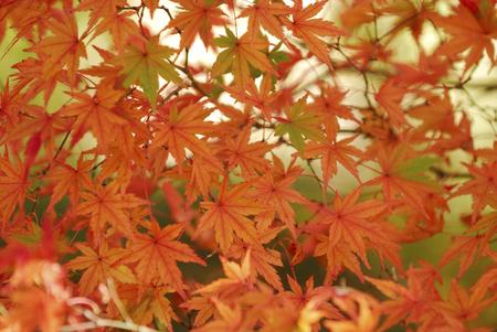 crimson colour: Autumn leaves