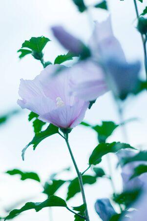 rosemallow: Rose-Malva
