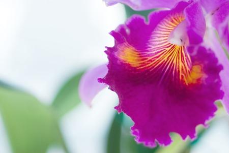 cattleya: Purple Cattleya