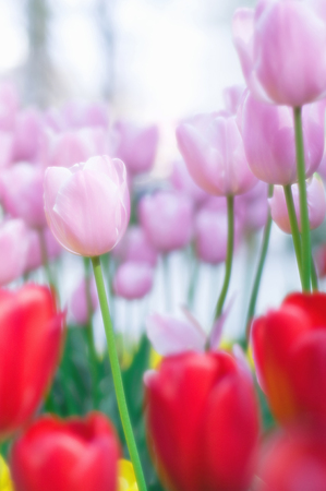 flower bed: Flower bed of tulips