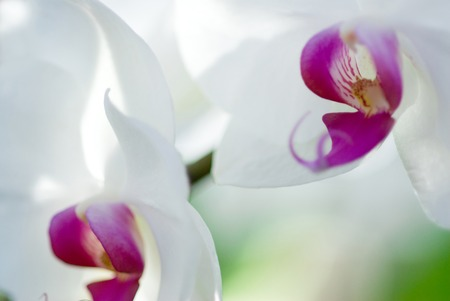 phalaenopsis: Phalaenopsis Orchid Stock Photo