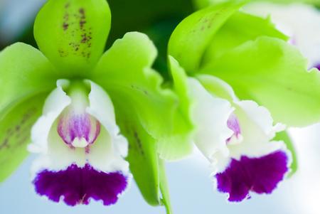cattleya: Colorful mini cattleya Stock Photo
