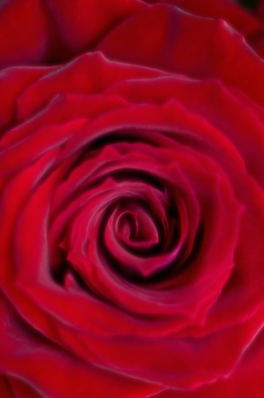 ruby red: Rose Ruby Red