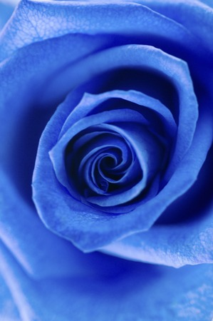 Blue Roses Stockfoto