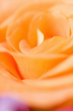 rosas naranjas: Primer plano de rosas naranjas