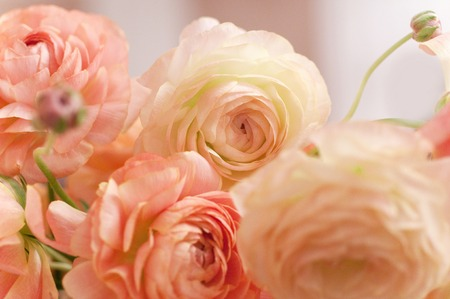 flower close up: Ranunculus Stock Photo