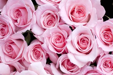 Pink Roses Standard-Bild
