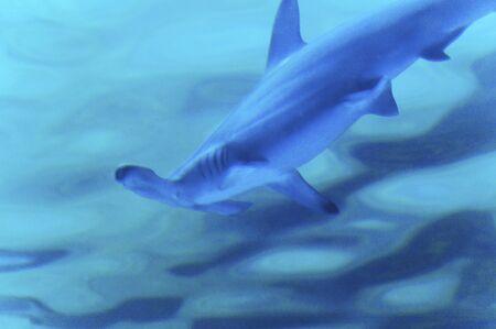 pez martillo: Tiburon martillo