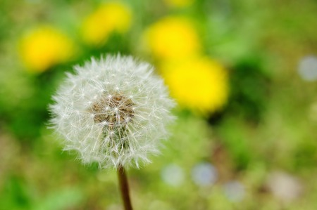 tage: Dandelion