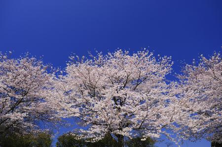 entrance arbor: Sakura