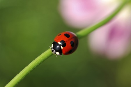 beneficial insect: Ladybird Stock Photo