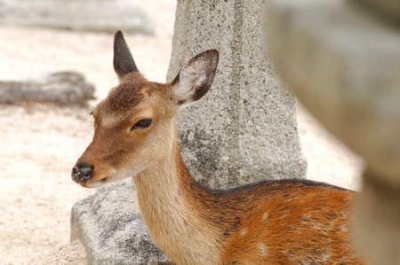 animal only: Deer