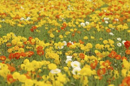 bushy plant: Poppy fields Stock Photo