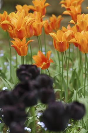 bushy plant: Tulip