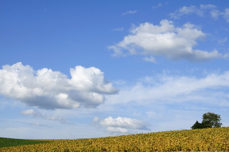 grandeur: Soybean fields and white clouds