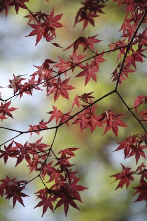 crimson colour: Maples