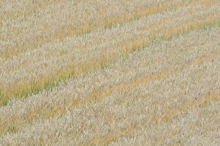 kita: Wheat field