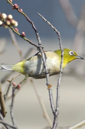 living organisms: Japanese whiteeye